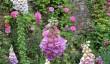 cerney-garden-foxgloves.jpg