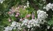 cerney-gardens-roses.jpg