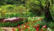 cerney_tulips.jpg