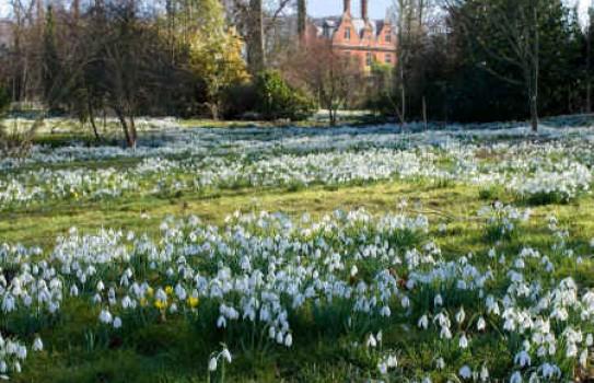 Chippenham Park Snowdrops