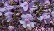 cornwall-magnolias.jpg