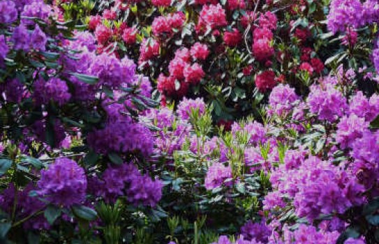 Rhododendrons at East Bergholt Place Garden
