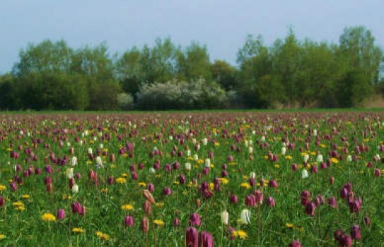 Fritillaries at North Meadow in Cricklade