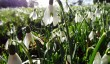 lamport-hall-snowdrops.jpg