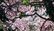 magnolia_caerhays.jpg