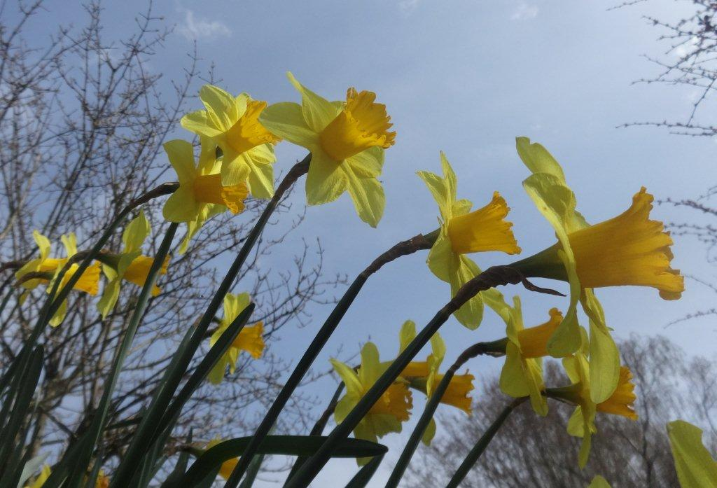 Daffodils And Daffodil Gardens Amp Where To See Them