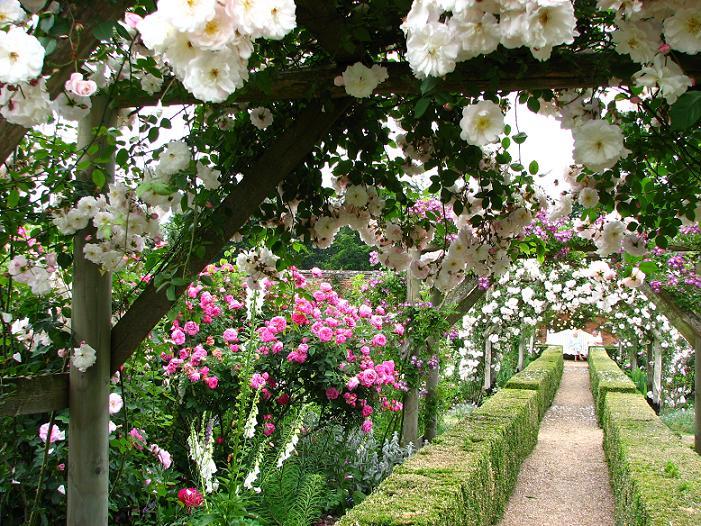 Roses In Garden: Mottisfont Abbey Gardens